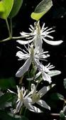 認識植物2.0 (33) 串亨伸佛克:串鼻龍xx04.jpg