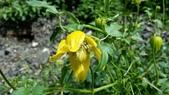 認識植物2.0 (20) 瓜瓦甘田由:甘青鐵線蓮xx01.jpg