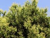 認識植物2.0 (31) 耳肉肋舌舟艾:肉桂 r5919.JPG