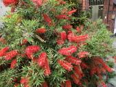 認識植物2.0 (33) 串亨伸佛克:串錢柳 y1804.JPG