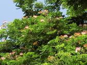 認識植物2.0 (61) 雨青:雨豆樹ax3609.JPG