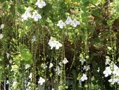 植物隨手拍 J:大鄧伯花 j2632.JPG