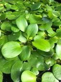 認識植物(67) 圓塊奧幹愛愷:圓心萍xx01.jpg