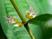 認識植物2.0 (70) 柊柏柚柳:柏拉木xx02.jpg