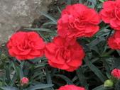 植物隨手拍 X:康乃馨 x8388.JPG