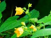 認識植物2.0 (61) 雨青:青牛膽xx02.jpg