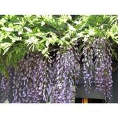 認識植物(61) 紫:相簿封面