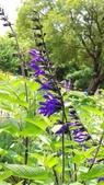 認識植物2.0 (20) 瓜瓦甘田由:瓜拉尼鼠尾草xx03.jpg