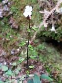 認識植物2.0 (27) 成扛早旭曲朵:早田氏鼠尾草xx01.jpg