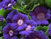 認識植物2.0 (20) 瓜瓦甘田由:瓜葉菊bd2595.JPG