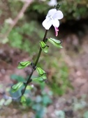 認識植物2.0 (27) 成扛早旭曲朵:早田氏鼠尾草xx03.jpg