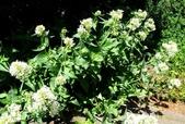 認識植物(5) 女子小:女孃花xx01.jpg
