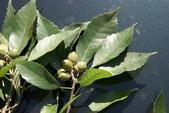 認識植物(67) 圓塊奧幹愛愷:圓果青剛櫟zz02.jpg