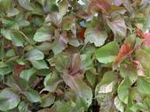 認識植物2.0 (66) 威娃屋屏峇:威氏鐵莧 L6638.JPG
