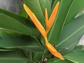 認識植物(5) 女子小:小天堂鳥花av5845.JPG