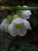 認識植物(67) 圓塊奧幹愛愷:圓果秋海棠xx01.jpg