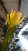 認識植物2.0 (63) 南:南非木百合xx02.jpg