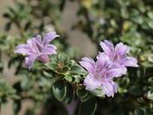 植物隨手拍 L:丁香木 L0438.JPG