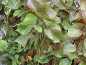 認識植物2.0 (66) 威娃屋屏峇:威氏鐵莧 L6643.JPG