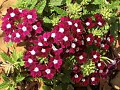 植物隨手拍 BP:美女櫻bp7126.JPG
