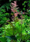 認識植物(58) 寒戟掌提散敦斐斑:掌葉大黃xx03.jpg