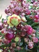 認識植物2.0 (27) 成扛早旭曲朵:朵拉提燈花xx01.jpg