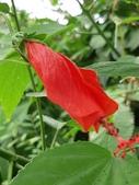 認識植物2.0 (63) 南:南美朱槿xx02.jpg