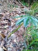認識植物2.0 (59) 長:長行天南星xx03.jpg