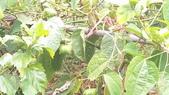 認識植物2.0 (63) 南:南美油藤xx02.jpg