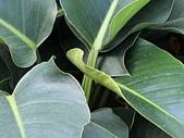 植物隨手拍 BP:綠鑽蔓綠絨bp1151.JPG