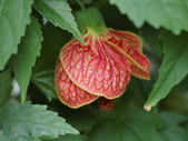 植物隨手拍 CJ:風鈴花cj6288.JPG