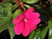 植物隨手拍CW:超級鳳仙cv9034.JPG