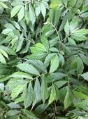 認識植物2.0 (34) 兵冷卵君含:冷青草xx01.jpg