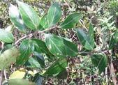 認識植物2.0 (59) 長:長尾葉越橘xx01.jpg