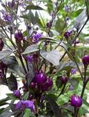 認識植物(66) 黑:黑王子辣椒xx04.jpg