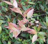 認識植物2.0 (59) 長:長尾葉越橘xx02.jpg