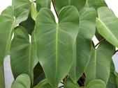 認識植物2.0 (67) 帝後恆扁:帝王蔓綠絨co7169.JPG