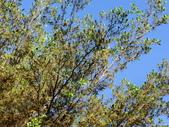 植物隨手拍 AK:細葉欖仁樹ak9949.JPG