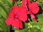植物隨手拍CW:超級鳳仙cv8254.JPG