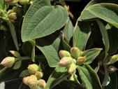 認識植物(70) 腰萬萱萼落葉葎葛葡葫葶蒂:蒂牡花dc0536.JPG