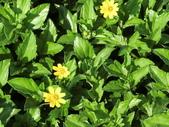 認識植物2.0 (63) 南:南美蟛蜞菊ar1346.JPG