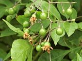 植物隨手拍 BP:懸星花bp9724.JPG