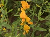 植物隨手拍 X:太陽麻 x0649.JPG