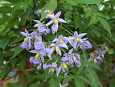 植物隨手拍 BP:懸星花bp9700.JPG