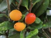 認識植物(64) 象費貼超酢量鈕開陽雁雲韌須:象牙木ay3253.JPG