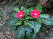 認識植物2.0 (59) 長:長春花 v1676.JPG