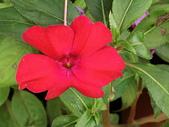 植物隨手拍CW:超級鳳仙cv7548.JPG