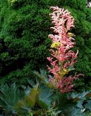認識植物(58) 寒戟掌提散敦斐斑:掌葉大黃xx05.jpg
