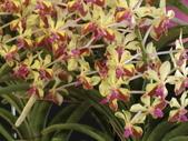 認識植物(70) 腰萬萱萼落葉葎葛葡葫葶蒂:萬代蘭dg0589.JPG