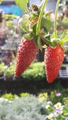 認識植物2.0 (59) 長:長形草莓xx01.jpg